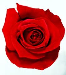 rosa roja.jpg